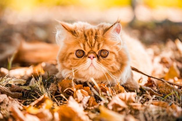 Jonge schattige rode perzische kat met grote oranje ronde ogen met een riem die op de herfstachtergrond loopt met gevallen droge bladeren.