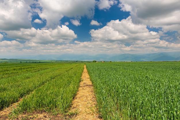 Jonge scheuten tarwe op een boerenveld