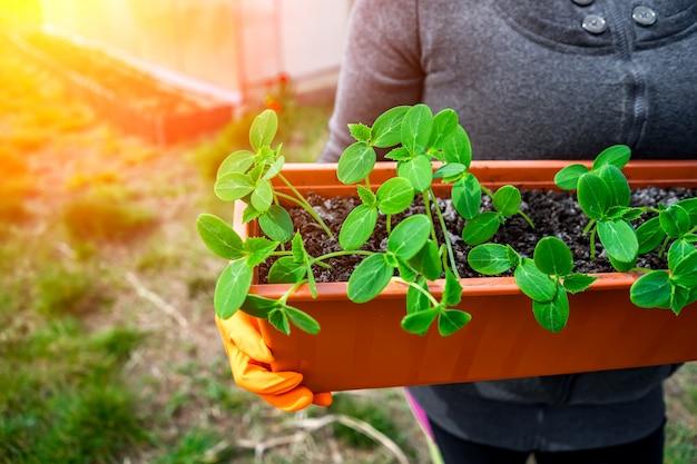 Jonge scheuten van komkommers in een doos voor planten in de handen van een vrouw