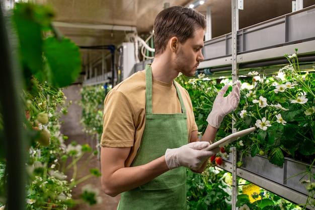 Jonge serieuze gehandschoende mannelijke werknemer van kas of verticale boerderij die tablet gebruikt terwijl hij naar witte bloesem van aardbeienzaailingen kijkt