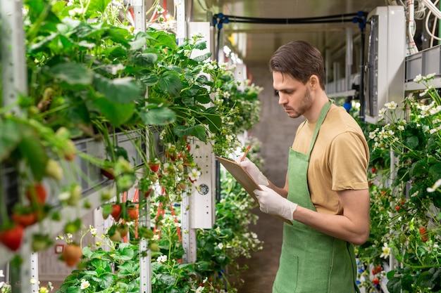 Jonge serieuze mannelijke werknemer van broeikas of verticale boerderij die aantekeningen maakt terwijl hij tussen planken staat met aardbeienzaailingen