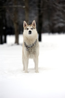 Jonge siberische husky hond in de sneeuw