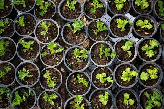 Jonge slaspruiten in de biologische groenteboerderij.
