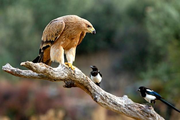 Jonge spaanse keizerlijke adelaar met eksters. aquila adalberti