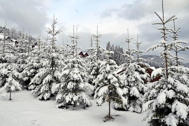 Jonge sparren planten op de hellingen van de bergen. jonge sparren bedekt met sneeuw in de karpaten