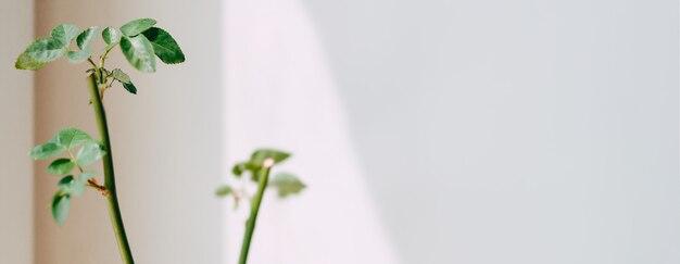 Jonge spruit van een tak met rozenbottels.
