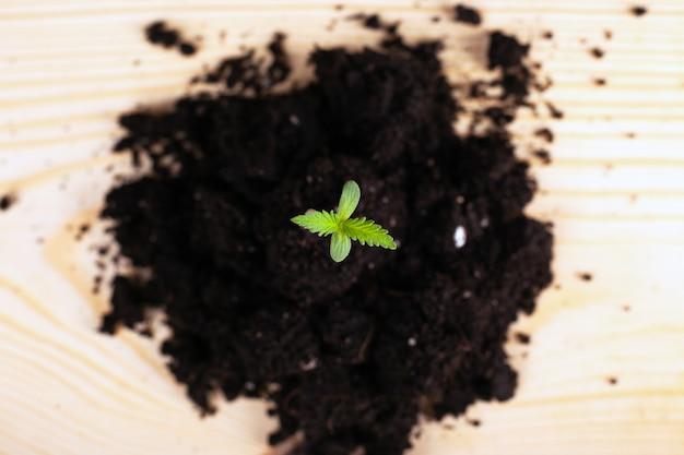Jonge spruit van marihuana in een heuvel van close-up van de grond het hoogste mening op een lichte achtergrond.