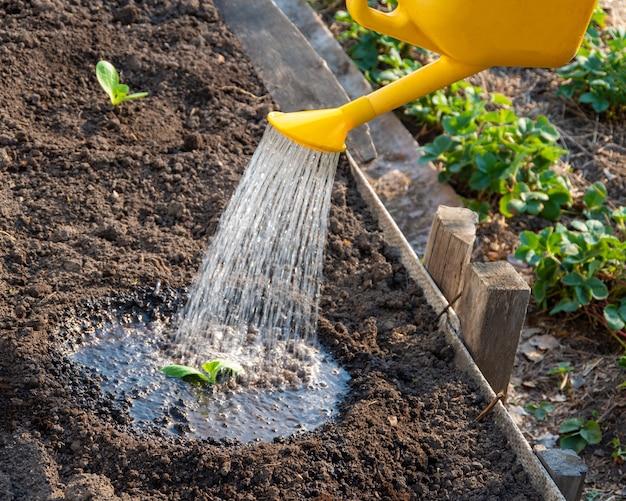 Jonge spruiten krijgen water uit een gele gieter in de tuin. droge zomers maken het besproeien van de velden tot een dagelijkse taak voor boeren. planten planten in de grond Premium Foto