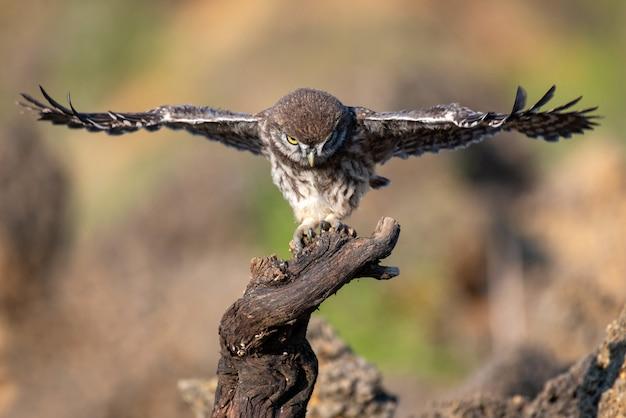 Jonge steenuil athene noctua vliegt