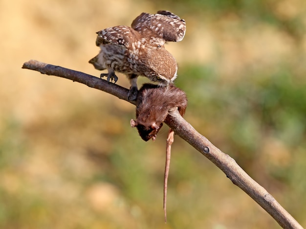 Jonge steenuil die een rat eet.