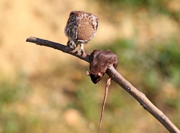 Jonge steenuil die een rat test.
