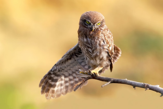 Jonge steenuil met open vleugel