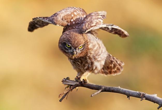 Jonge steenuil met open vleugels