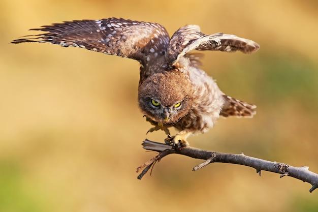 Jonge steenuil met wijd open vleugels
