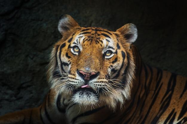 Jonge sumatraanse tijger lopen uit de schaduw / tiger