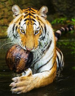 Jonge sumatraanse tijger lopen uit de schaduw