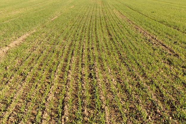 Jonge tarwe groeit op het gebied keurige rijen. natuur.