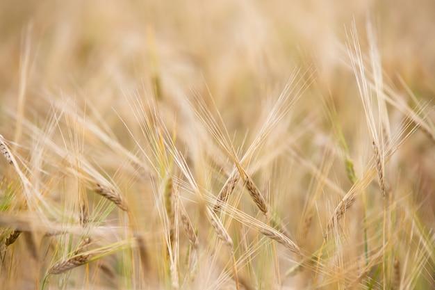 Jonge tarwe groeit op het veld.