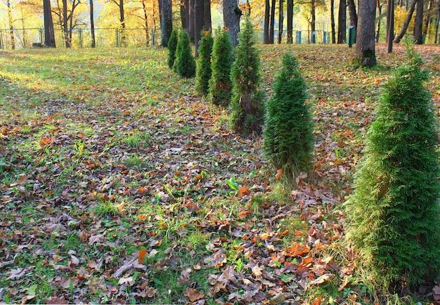 Jonge thuja-bomen worden op een rij in de tuin geplant