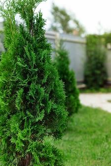 Jonge thuja-boom die op een persoonlijk perceel tegen het huis staat