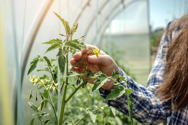 Jonge tuinmanvrouw houdt en onderzoekt zorgvuldig de gele bloem van tomaten in de kas