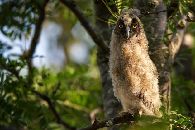 Jonge uil met lange oren (asio-otus) zitting op een boomtak