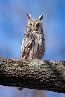 Jonge uil zit in een boom en kijkt op de camera