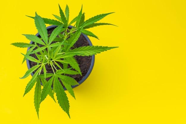 Jonge verse groene mariajuana-plant