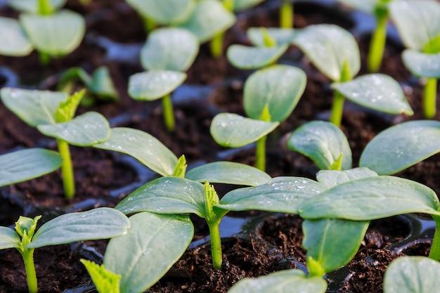 Jonge verse komkommerzaailing staat in plastic potten. teelt van komkommers in kas. komkommer zaailingen ontkiemen