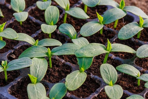 Jonge verse komkommerzaailing staat in plastic potten. teelt van komkommers in kas