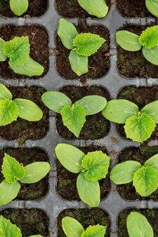 Jonge verse komkommerzaailing staat in plastic potten