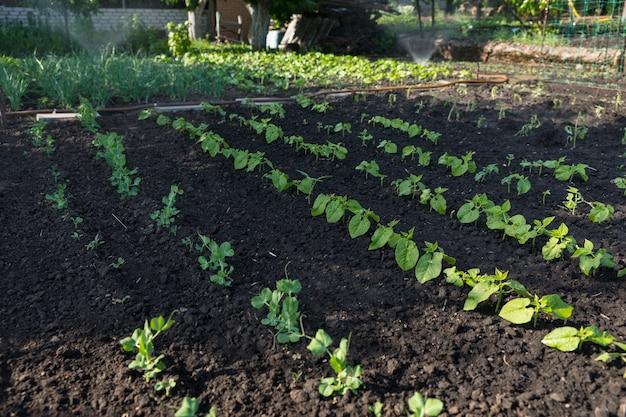 Jonge verse sperziebonen in een moestuin geplant in nette rijen op rijke vruchtbare grond die symbool staat voor de lente
