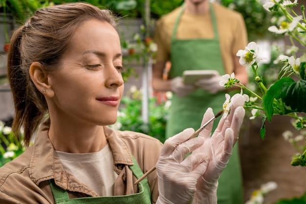 Jonge verticale landarbeider met borstel die aardbeienzaailingen probeert te bestuiven terwijl hij witte bloesem vasthoudt tegen collega met tablet