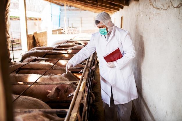 Jonge veterinaire controlerende varkens in een varkensstal.