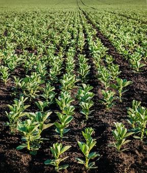 Jonge vicia faba, bonen fava planten, close-up van groeiende bonen in het voorjaar, front focus