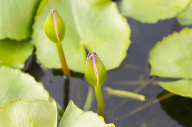 Jonge violette lotusbloem en groene bladeren in water