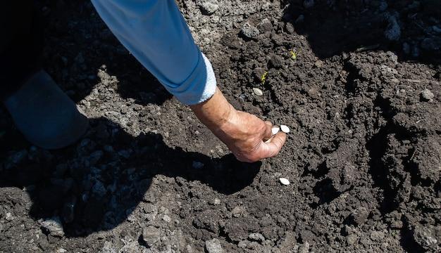 Jonge volwassen vrouw die pompoenpitten plant in verse donkere grond. selectieve focus