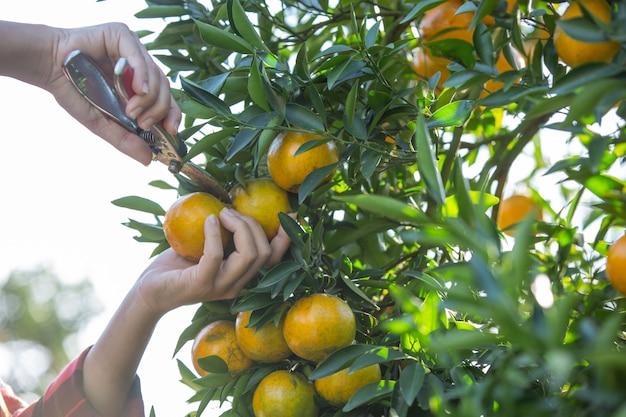 Jonge vrouw in de sinaasappel van de tuinoogst in de tuin.