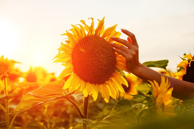 Jonge vrouw raakt met haar vingers een bloeiende zonnebloem in een veld bij zonsondergang schoonheid in de natuur in t...
