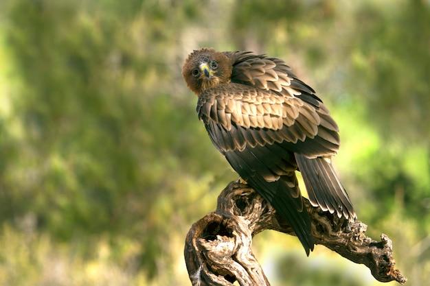 Jonge vrouw van booted eagle phale morph