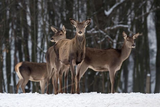Jonge vrouwelijke hindeherten in de winterbos