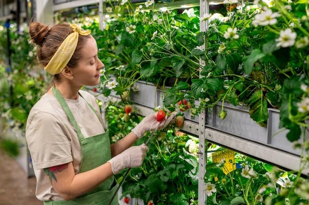 Jonge vrouwelijke werknemer van een grote hedendaagse verticale boerderij die maatregelen neemt van verse rijpe aardbeien terwijl ze bij een van de lange planken staat