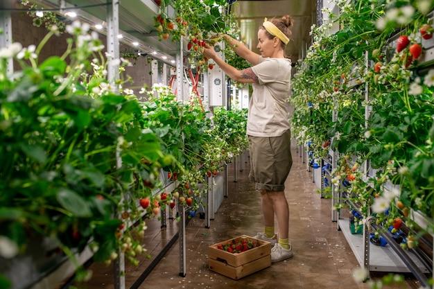 Jonge vrouwelijke werknemer van een hedendaagse verticale boerderij die bij een houten kist staat met verse rijpe aardbeien terwijl ze nieuwe oogst oppikt