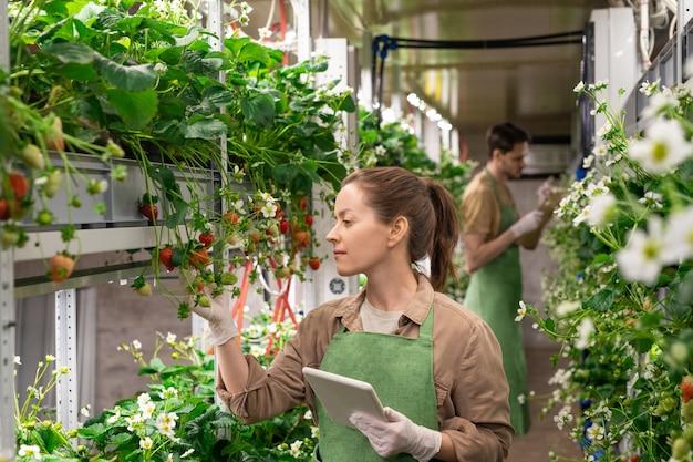 Jonge vrouwelijke werknemer van verticale boerderij met digitale tablet terwijl ze bij de plank staat met aardbeienzaailingen en naar bessen kijkt