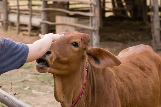 Jonge vrouwen voedende koeien met gras bij cowhouse in landbouwbedrijf thai