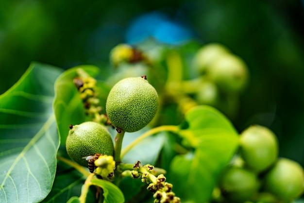 Jonge walnoten op de boom