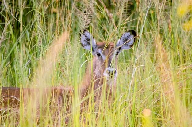 Jonge waterbok kijkt uit een struikgewas van hoog gras murchison falls national park oeganda afrika