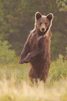 Jonge wilde nieuwsgierige bruine beer die zich in rechte positie bevindt