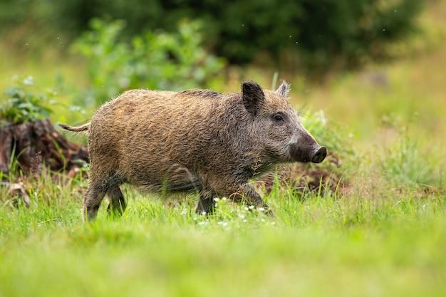 Jonge wilde zwijnen lopen op een open plek met groen gras in zomer bos.
