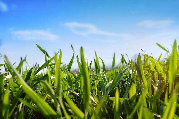 Jonge wintertarwe in een veld tegen een blauwe hemel. groen gras onder de zon in het vroege voorjaar.